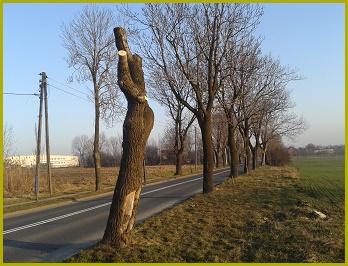drzewa Starogliwicka